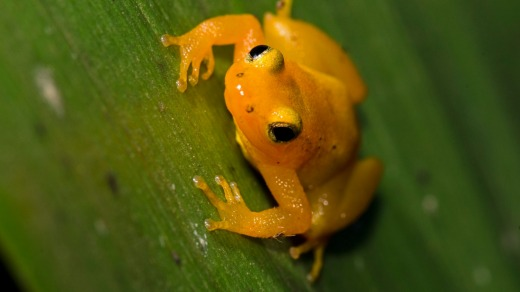 Golden Rocket Frog, Kaieteur National Park, Guyana.