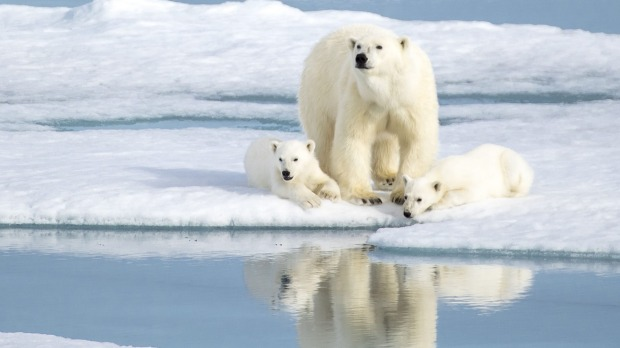 A mother bear keeping watch over her two cubs in the Norwegian Arctic.
