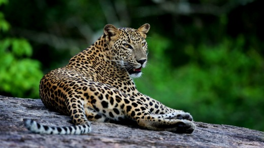 The elusive Sri Lankan leopard is the main attraction for most people heading out on safari.