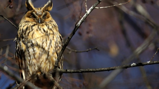 Every year 500 or so long-eared owls spend the winter in the main square of Kikinda.