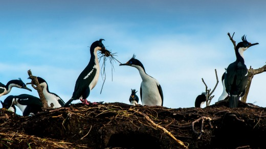 Cormorants in Tierra del Fuego, just some of the wildlife to be discovered in  Patagonia.