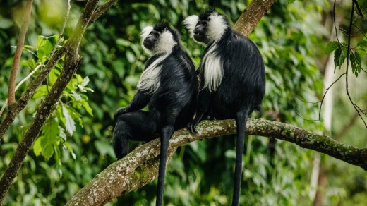 Colobus monkeys in the vicinity of One & Only's Nyungwe House.