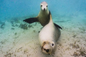 Puppies of the ocean: Sea lions off Blythe Island.