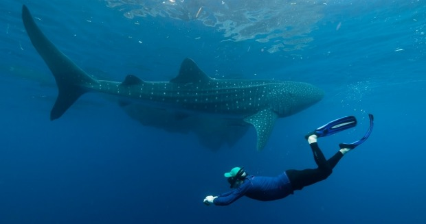 Swimming with Whale Sharks on the Spice Islands expedition.