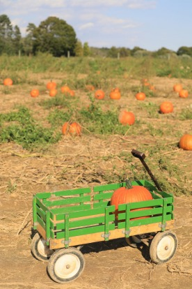 A pumpkin field at one of the many farms in Long Island: Vineyards and farms on Long Island While beaches, boats and ...