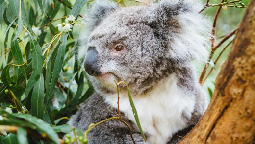 A koala in the Healesville Sanctuary.