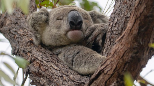 Koalas aren't too disturbed by tourist selfies on Maggie Island.