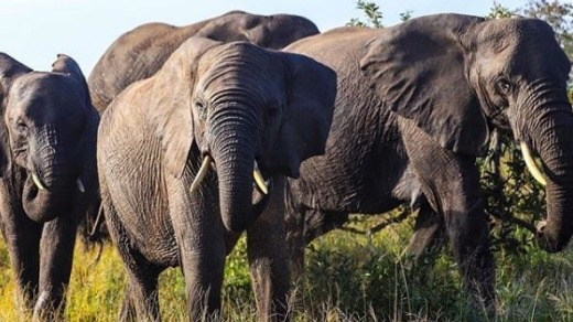 Don't mess with African elephants.