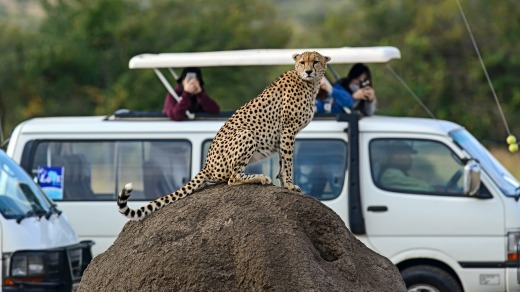 Cheetah are among some of the wildlife you can spot at Masai Mara National Park in Kenya.