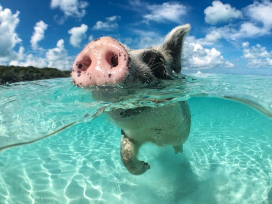 SWIMMING PIGS THE BAHAMAS The Bahamas is home to two drifts of Insta-famous swimming pigs – one set of porky castaways ...
