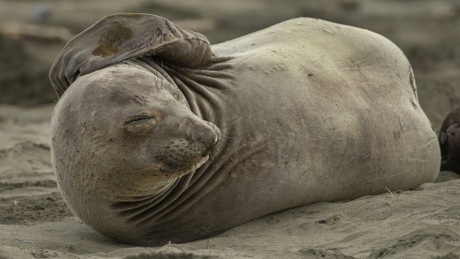 Elephant seals can be dangerous. Males can weigh up to 2000kg.