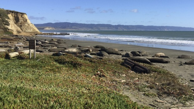 Drakes Beach has been overrun by elephant seals.