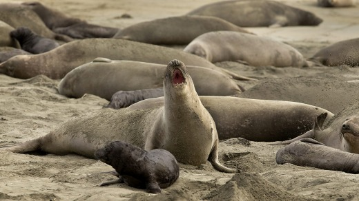 Without tourists and park rangers to discourage them during the government shutdown, elephant seals have expanded their ...
