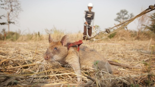 One of Cambodia's 'hero rats' sniffs for landmines.