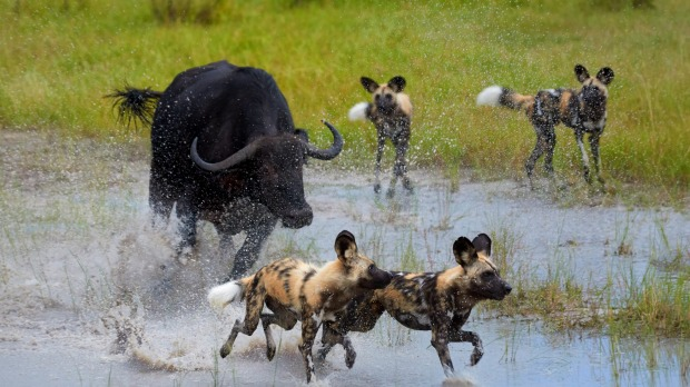 African Wild Dogs are chased off by an angry buffalo.
