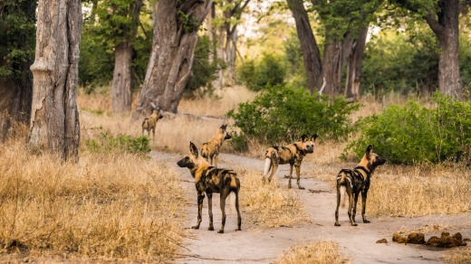 Pack of African wild dogs.