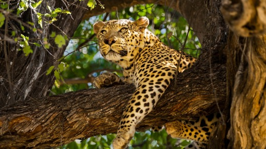 A leopard keeps an eye on proceedings.