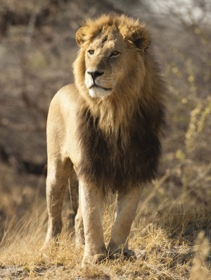 Lion in Moremi Game Reserve, Botswana.