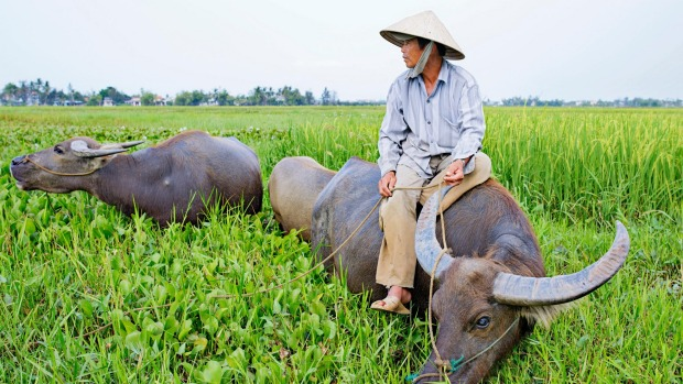 Water buffalo plays an important role in Vietnam's agriculture.
