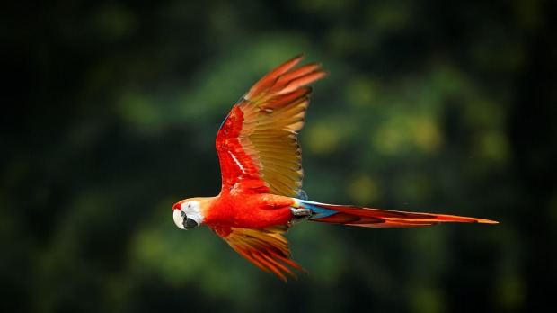 A scarlet macaw on the move.