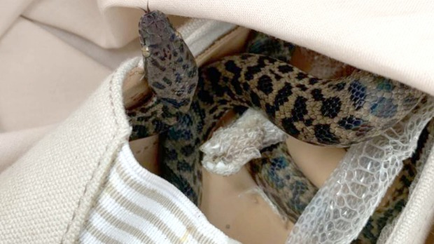 Moira Boxall discovered the spotted python hidden in a shoe in her luggage.