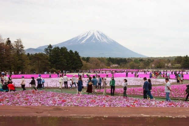 KAWAGUCHIKO, JAPAN: Tourists gather in front of beautiful various colored moss phlox or shiba-sakura fields during the ...