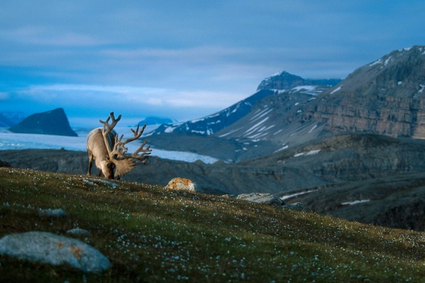 The Svalbard archipelago is a raw Arctic wilderness populated by regal mountains, blue sea ice, glaciers and a ...