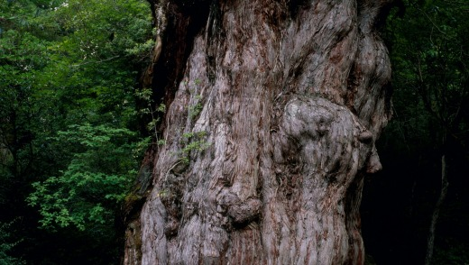Legend has it that Jomon Sugi, a 25m-tall cedar, has been on the island for 7200 years.