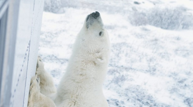 Get up close and personal with a polar bear.