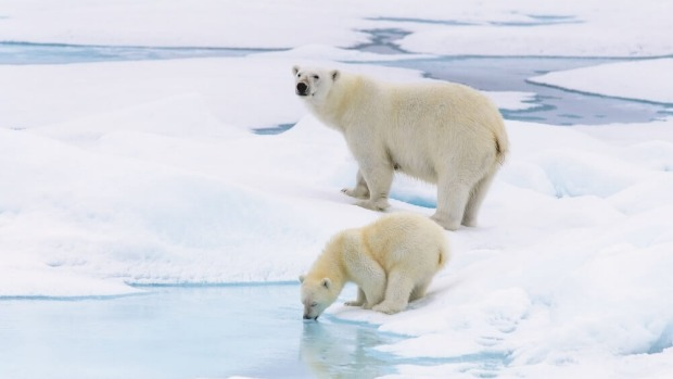 Polar bears and their cubs can be spotted in the far north of Franz Josef Land.