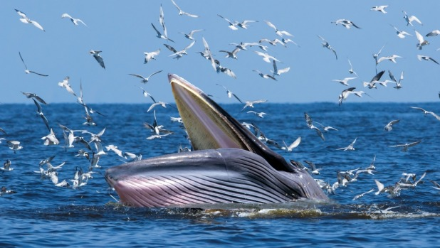 Bryde's whales can reach lengths of 55ft and weigh 30 tons.