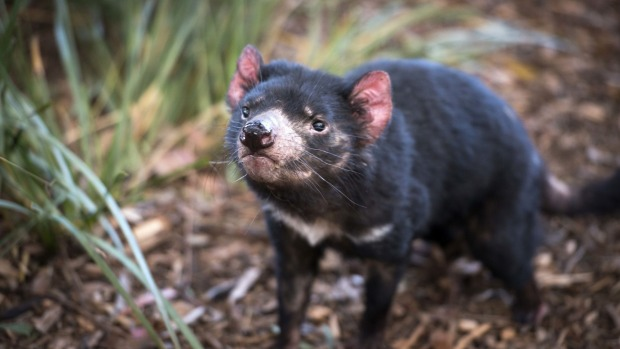 Maria Island National Park has become something of an ark for the Tasmanian devil.