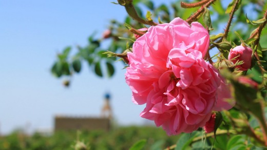 During rose harvest time, the Al Hajar mountain range is transformed for a brief period of time.