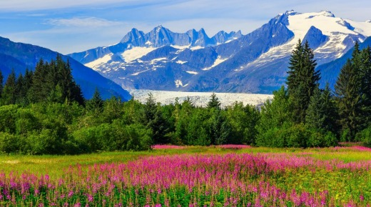 Mendenhall Glacier in the distance, viewed over fireweed in bloom.