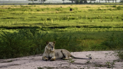 You never know what you'll see on foot around Mana Pools' John's Camp.