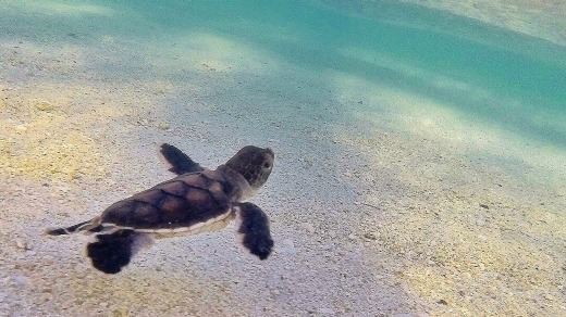 A turtle hatchling makes it into the ocean.