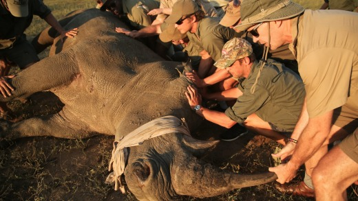 A rhino being dehorned; such drastic steps are taken to ensure the beasts are not slaughtered by poachers.