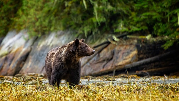 A grizzly bear strolls into view.