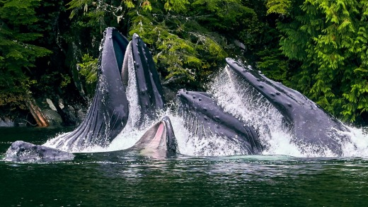 Humpback whales in waters off the Great Bear Rainforest.