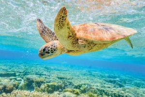 A green sea turtle on the Great Barrier Reef.