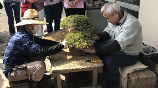 Root pruning on a 70-year-old pine bonsai.