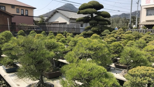Bonsai trees in the nursery range from seedlings to a 300-year-old black pine.