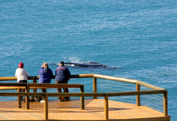 Head Of Bight is also a great spot for land-based whale watching in summer – southern right mamas like to raise their ...