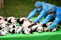 Chinese keepers put giant panda cubs born in 2016 together during a public event at the Chengdu Research Base.