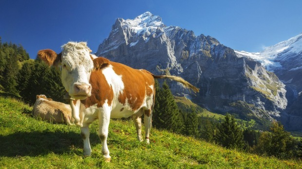 Swiss cows relax in an alpine meadow high above Grindelwald, Switzerland.
