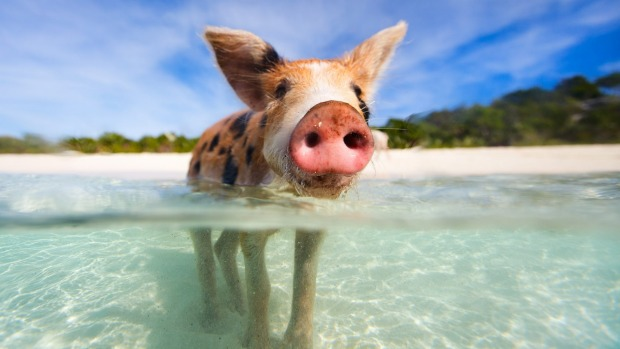 Swimming with pigs in the Bahamas has become a huge tourist attraction.