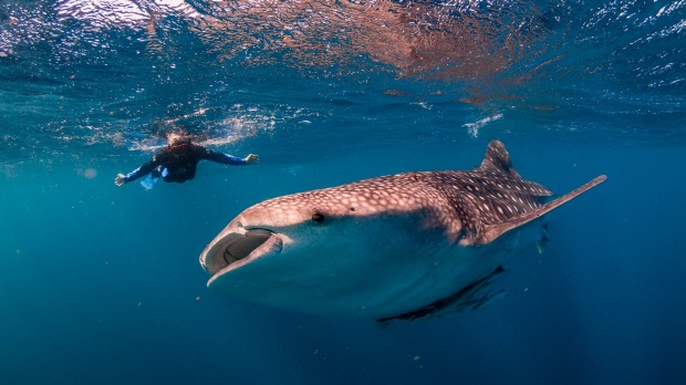 Swimming with Whale Sharks at Ningaloo Marine Reserve.