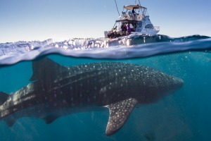 *** please archive *** sunmay19ningaloo Whale Sharks Ningaloo Marine Reserve WA ; text by Catherine Marshall ; SUPPLIED ...