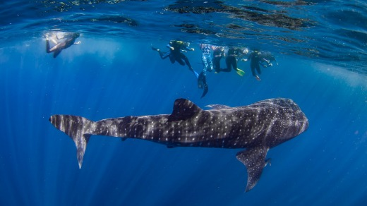 Swimming with a whale shark is one of the many appeals of a visit to Ningaloo.