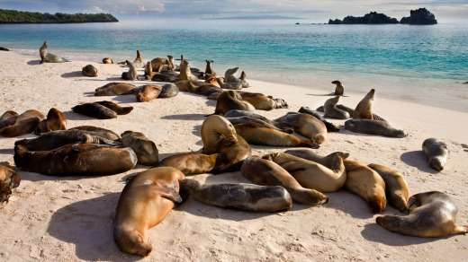 A colony of sea lions snooze at Gardner Bay on Espanola in the Galapagos Islands, Ecuador.